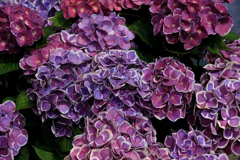 Buisson de fleurs d'hortensia Hydrangea pourpr? Jardin d'hortensia Belle floraison des hortensias de Macrophylla photo stock