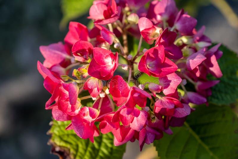 Buisson de floraison de baron rouge de macrophylla d'hortensia Fleurit le plan rapproch? images libres de droits