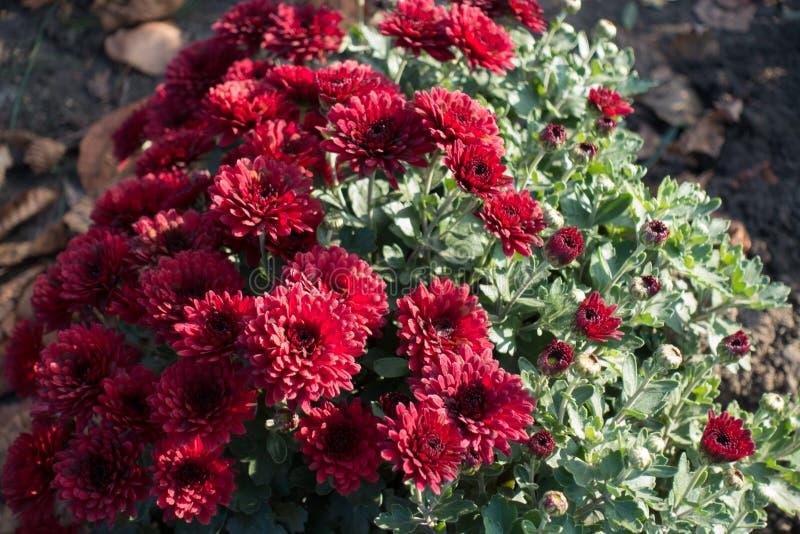 Buisson de floraison des chrysanthèmes rouges mi-novembre photographie stock libre de droits