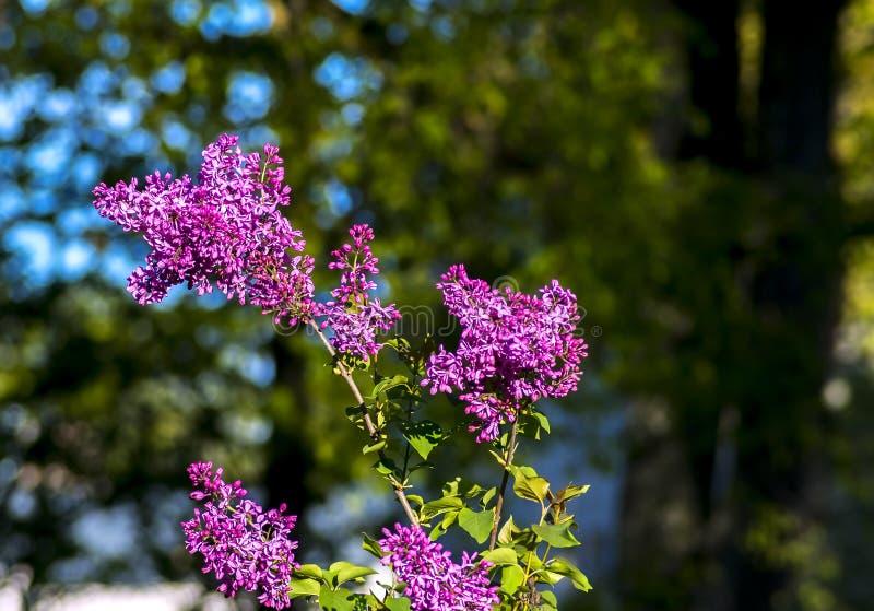 Buisson de floraison de lilas photo stock
