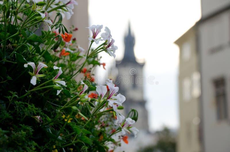 Buisson de géranium sur la vieille place, Prague images libres de droits