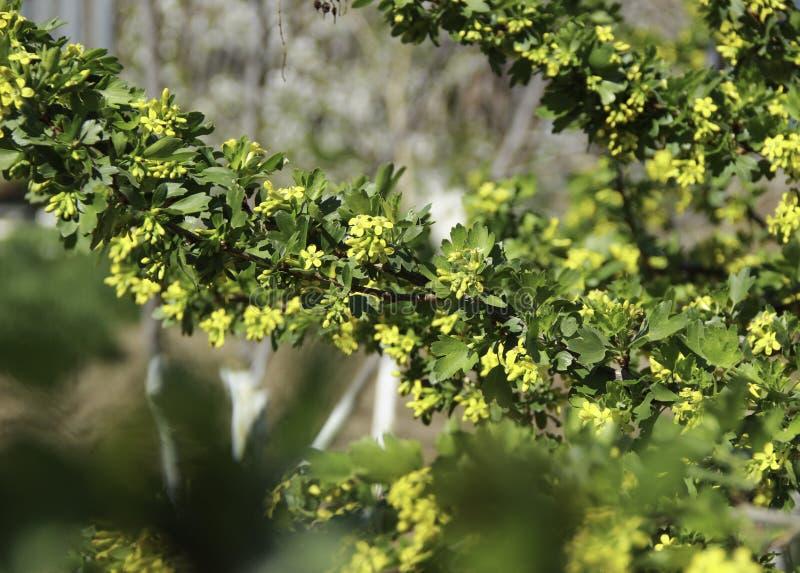 Buisson de groseille fleurissant dans le jardin image stock