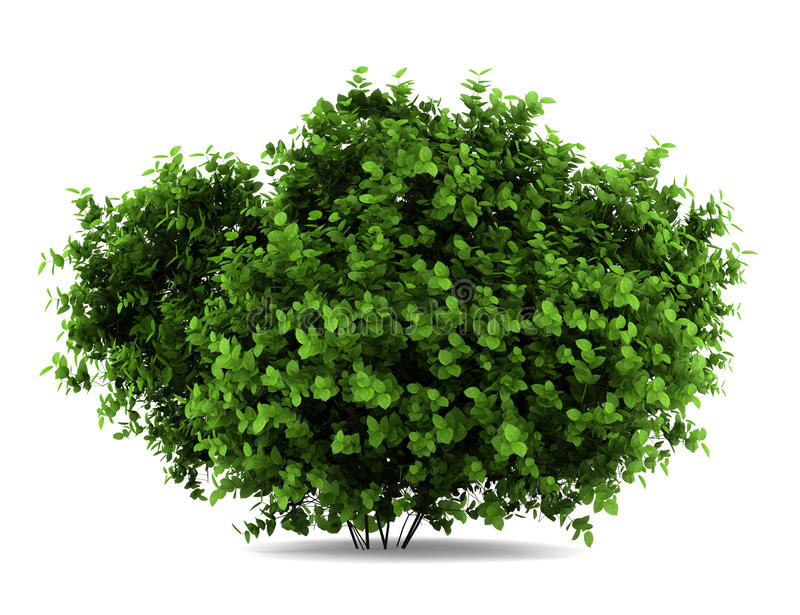 Buisson de hydrangea de Bigleaf d'isolement sur le blanc illustration stock