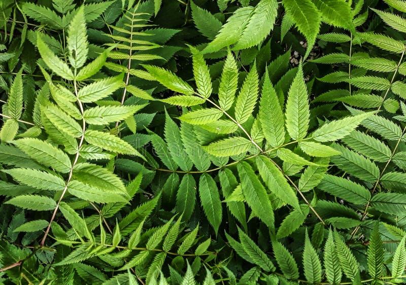 Buisson de jardin avec les feuilles découpées Vue de nature de plan rapproché des usines vert-foncé naturelles employant comme fo photos libres de droits