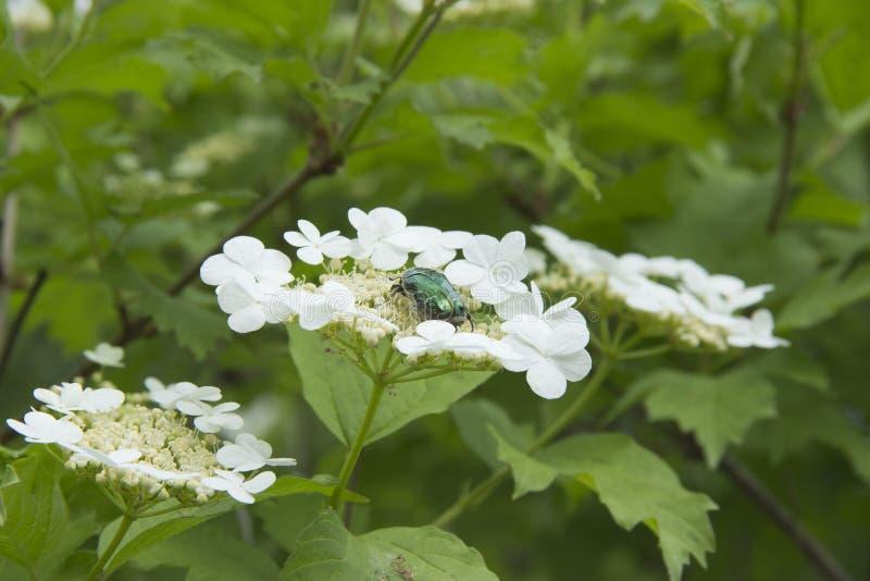 Buisson de lantana de Viburnum avec les fleurs blanches dans le printemps images stock