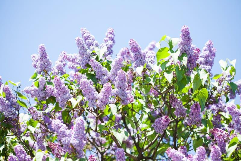 Buisson de lilas vulgaris de floraison de Syringa Fond floral de beau printemps avec des groupes de fleurs pourpres violettes photos libres de droits