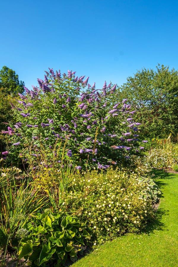 Buisson de papillon, buisson de papillon violet, lilas d'été, Papillon-Bush, oeil orange (davidii de Buddleja, davidii de buddlei photographie stock libre de droits