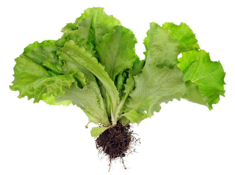 Buisson de salade avec les racines et le compost images stock
