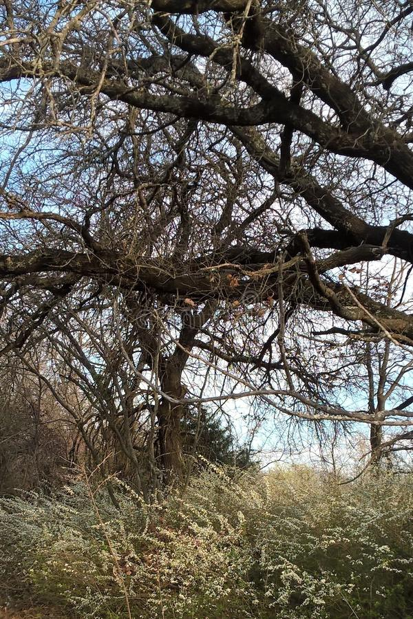Buisson de Spiraea photos libres de droits