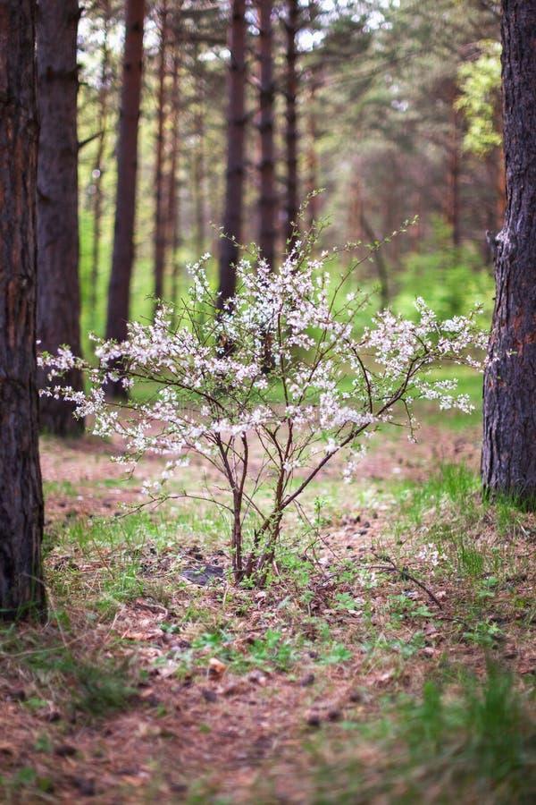 Buisson fleurissant de forêt de pin image libre de droits