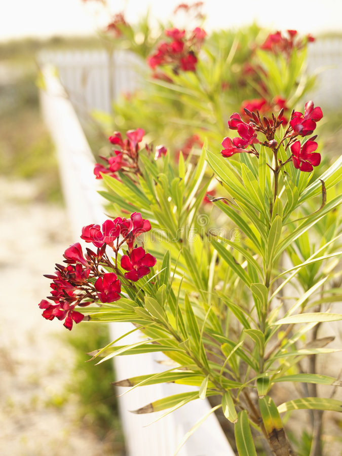 Buisson Fleurissant Rouge D Oléandre. Image libre de droits