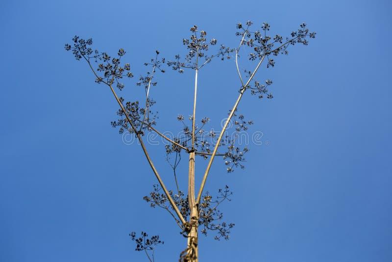 Buisson isolé sec contre le ciel bleu images stock