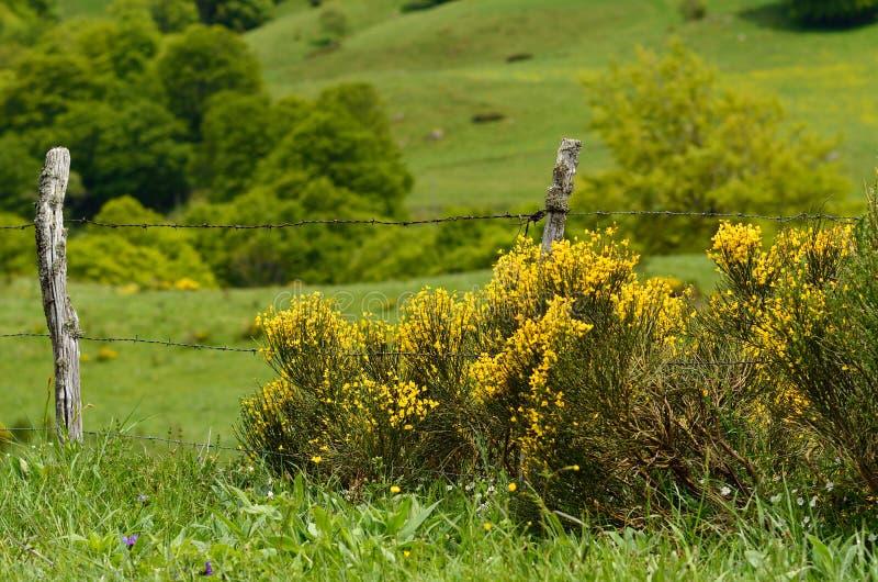 Buisson jaune image libre de droits