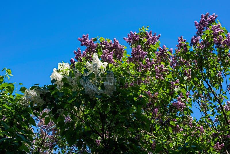 Buisson lilas blanc et pourpre contre le ciel photo stock