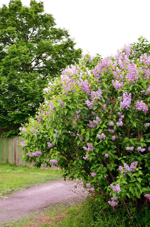 Buisson lilas images libres de droits