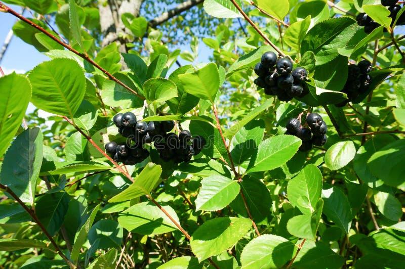 Buisson noir de chokeberry (melanocarpa d'aronia) avec les baies mûres image libre de droits