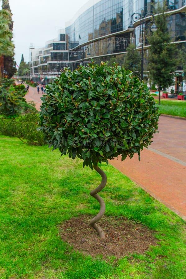 buisson pelucheux vert avec le tronc en spirale en parc, concept de construction de paysage photographie stock libre de droits