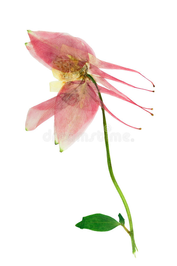 Buisson pressé et sec avec l'ancolie sensible de fleur vulgaris images stock