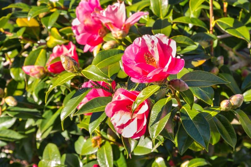 Buisson rose de camélia avec des fleurs en fleur photo libre de droits
