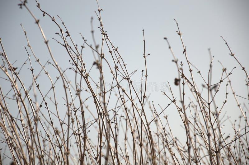 Buisson sans feuilles de haie photographie stock libre de droits