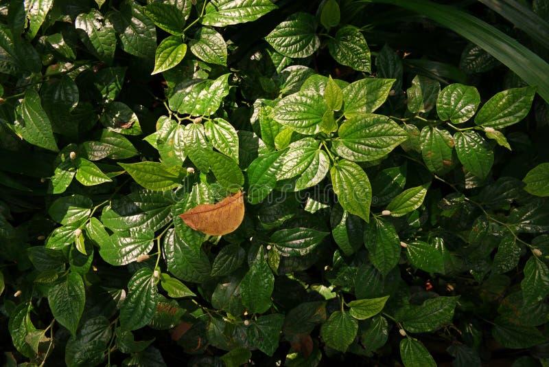 Buisson sauvage de feuille de bétel images stock