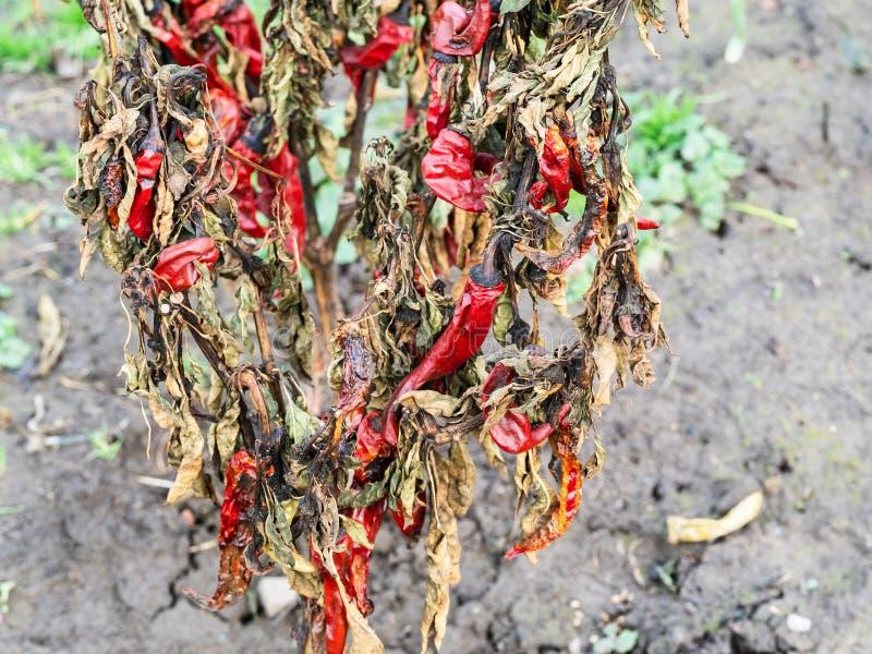 Buisson sec de fin de poivre de piment rouge dans le jardin images stock