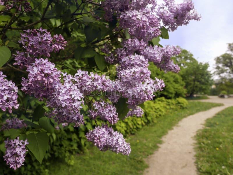 Buisson violet de la floraison vulgaris de SYringa lilas en parc photos stock