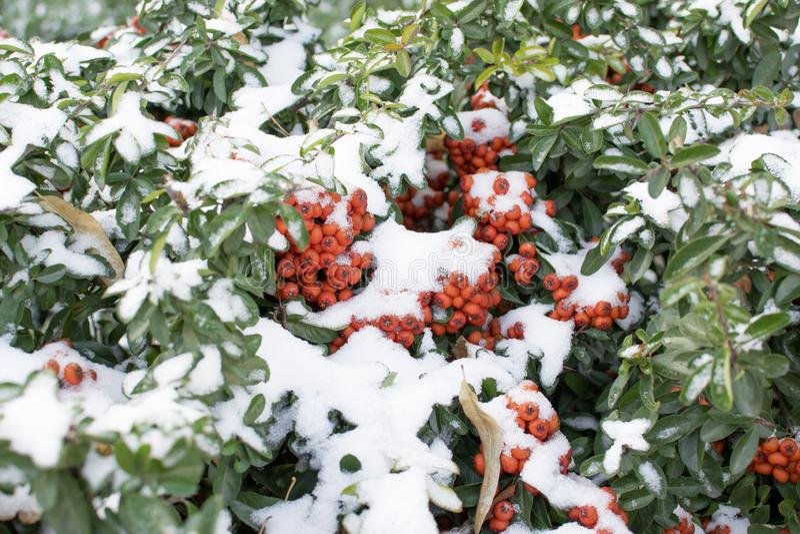 Buissons à feuilles persistantes avec les baies rouges couvertes dans la neige photos libres de droits