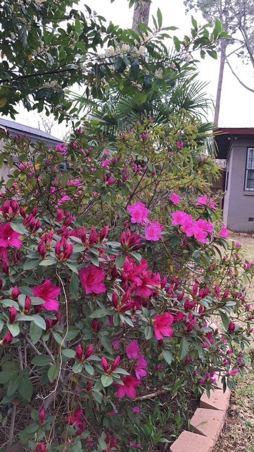 Buissons assez roses de fleur photographie stock libre de droits