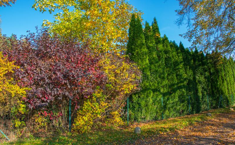 Buissons colorés de chute et thujas verts qui se développe autour de la barrière comme une haie photographie stock libre de droits