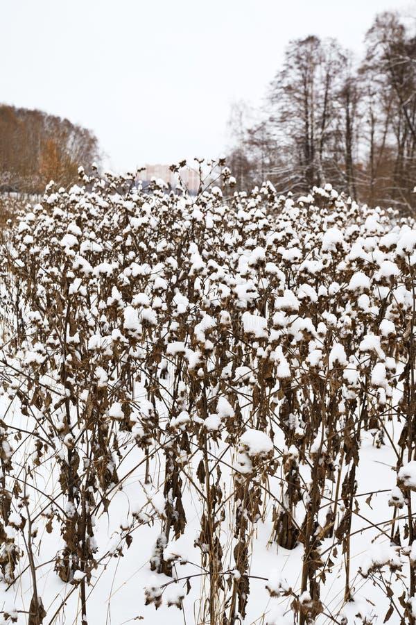 buissons couverts de neige de bardane en parc de ville photographie stock libre de droits