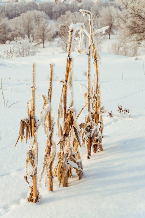 Download Buissons Couverts De Neige De Maïs Image stock - Image du givré, nature: 76075613