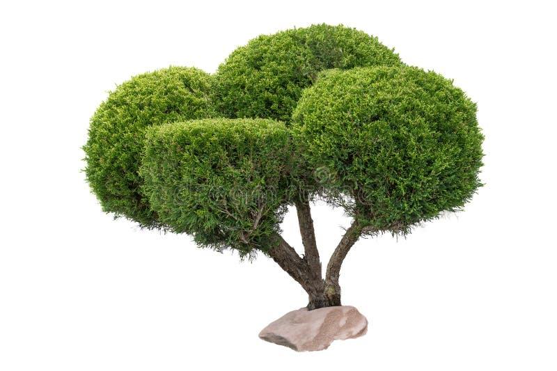 Buissons d'une manière ordonnée équilibrés, photo sur un fond blanc photos stock