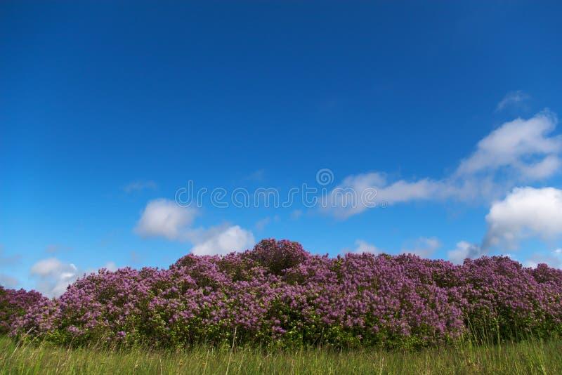 buissons de floraison lilas photographie stock