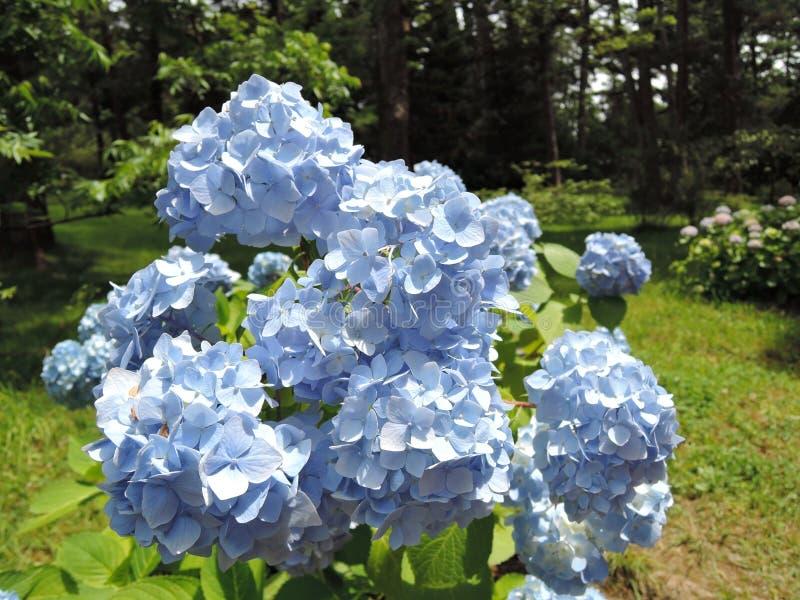 Buissons de l'hortensia de floraison des fleurs bleues un jour ensoleillé lumineux dans le jardin photos libres de droits