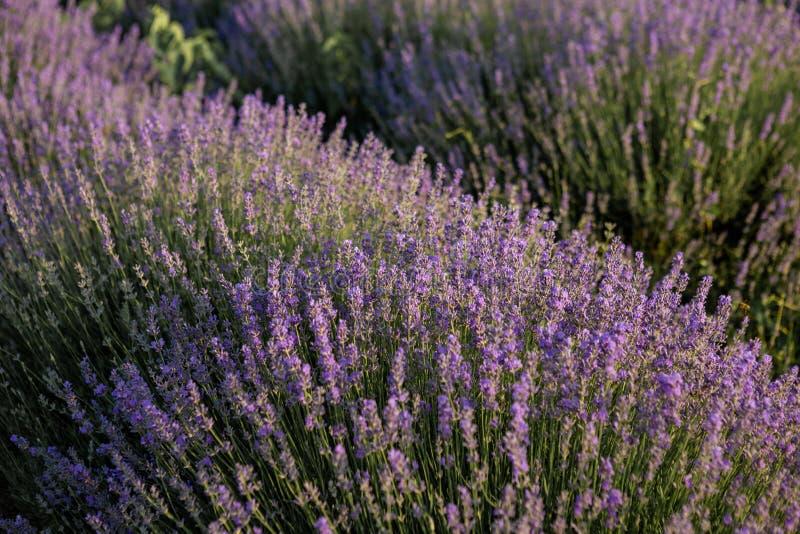Buissons des fleurs aromatiques pourpres de lavande image stock
