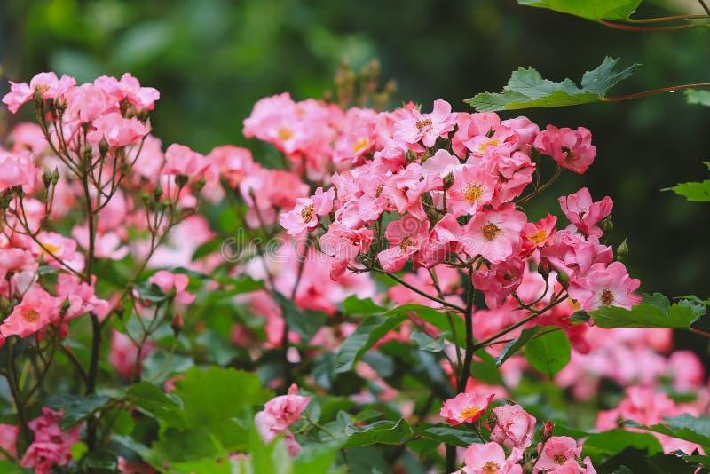 Buissons des roses de rose sauvage - foyer mou - modifiées la tonalité photo stock
