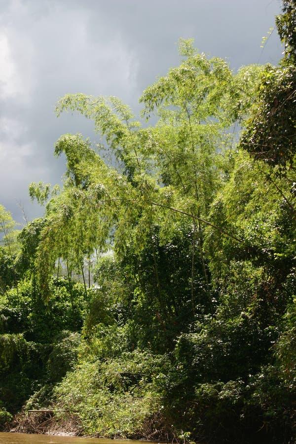 Buissons en bambou image libre de droits