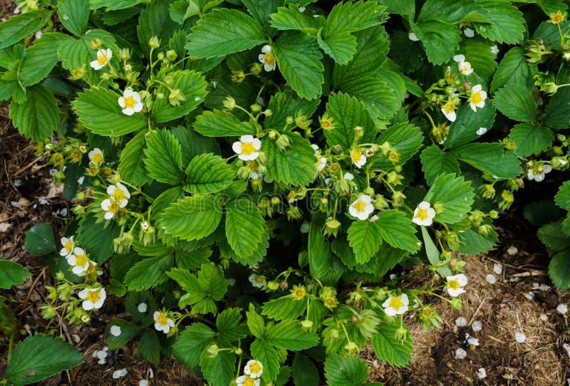 Buissons fleurissants des fraises dans le jardin dans le jardin Fraises fleurissantes abondantes photographie stock libre de droits