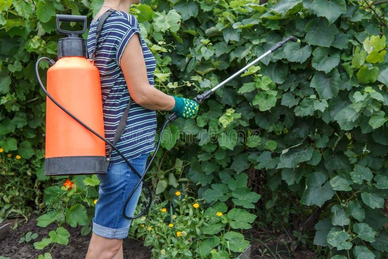 Buissons protecteurs de raisin de la maladie fongique ou vermine avec le pulvérisateur de pression photo libre de droits