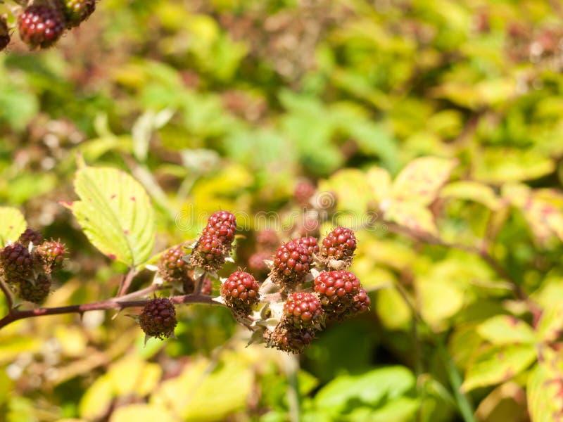 Buiten kwekend Rode Braambessen Bush in de Zomerfruit stock foto's