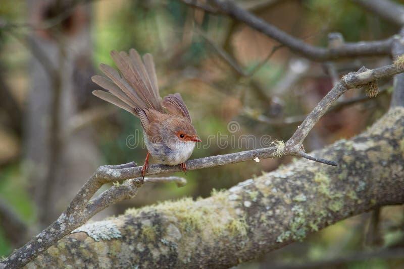Buitengewone cyaneus van Fairywren - Malurus-- de passerinevogel in de Australasian-winterkoninkjefamilie, Maluridae, en is gemee stock afbeelding