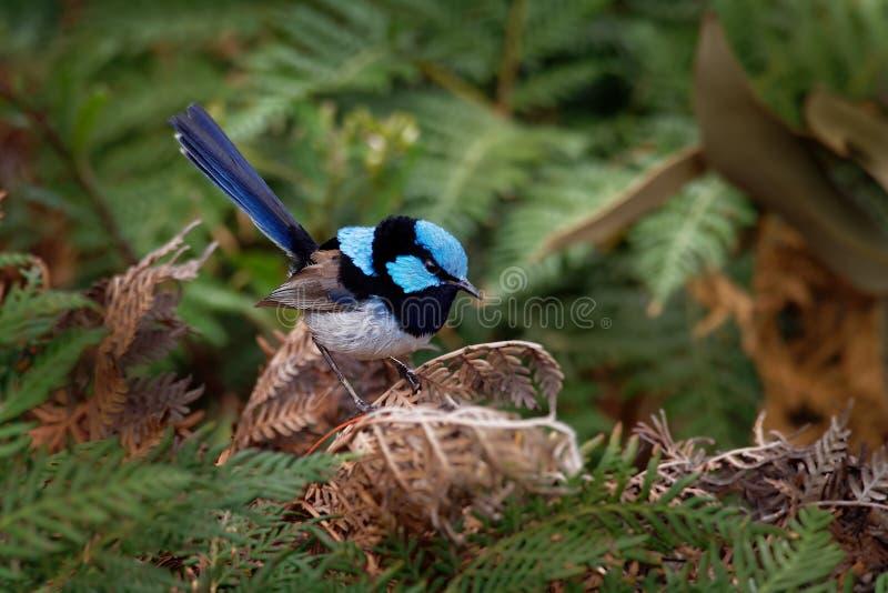 Buitengewone cyaneus van Fairywren - Malurus-- de passerinevogel in de Australasian-winterkoninkjefamilie, Maluridae, en is gemee stock foto
