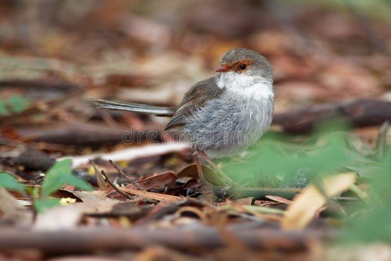 Buitengewone cyaneus van Fairywren - Malurus-- de passerinevogel in de Australasian-winterkoninkjefamilie, Maluridae, en is gemee stock foto's