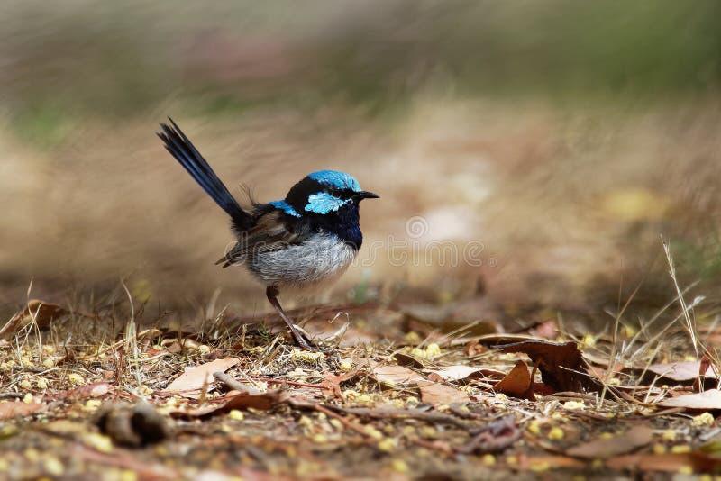 Buitengewone cyaneus van Fairywren - Malurus-- de passerinevogel in de Australasian-winterkoninkjefamilie, Maluridae, en is gemee royalty-vrije stock afbeeldingen