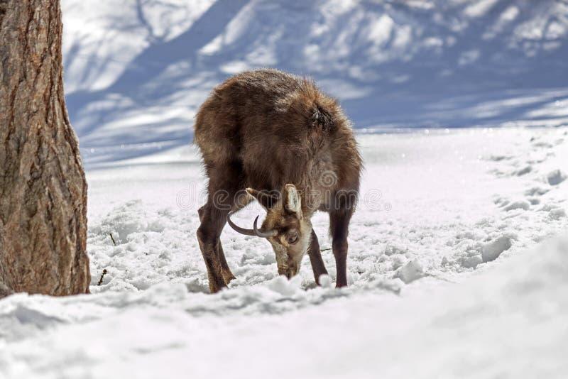 Buitengewone Gemzen in het Nationale Park, Aosta royalty-vrije stock foto's
