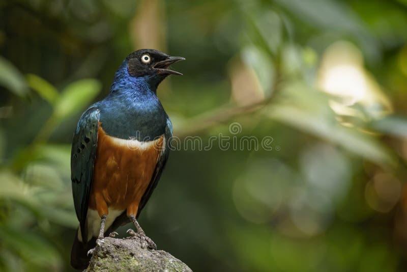 Buitengewone Starling stock afbeelding