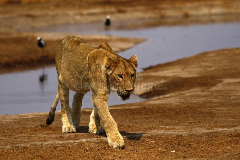 Buitengewone sub-Volwassen mannelijke leeuw in de trots royalty-vrije stock afbeeldingen