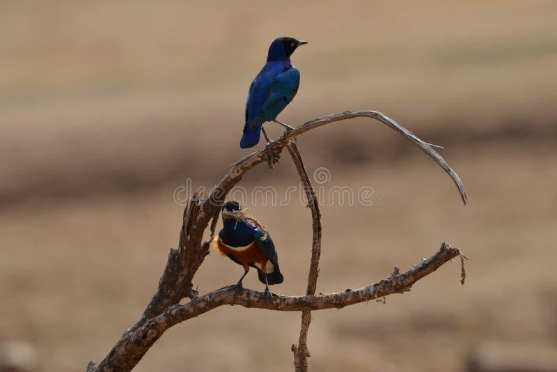 Buitengewoon Starling Perched op tak stock fotografie