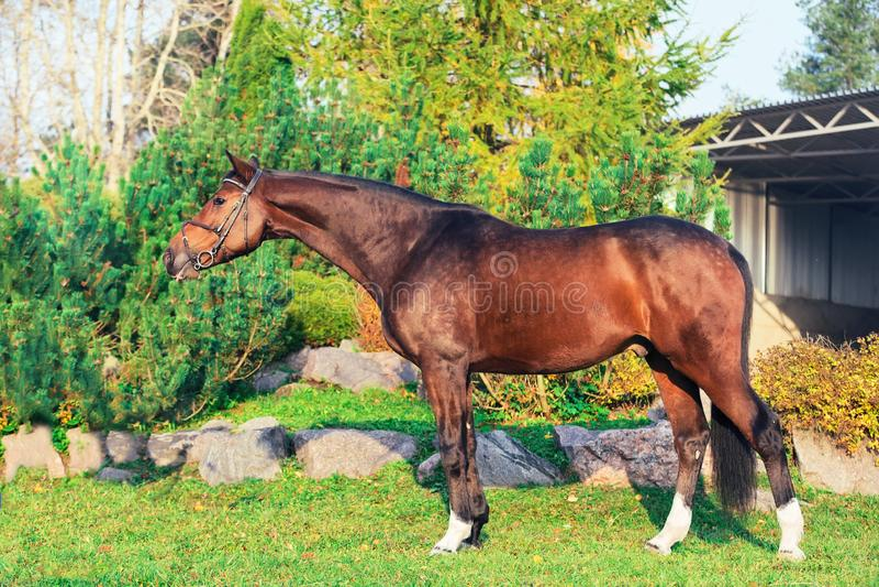 Buitenkant van het sportieve warmbloodpaard stellen in aardige plaats royalty-vrije stock foto's